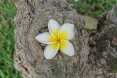 Feche acima da flor do Plumeria na árvore imagem de stock