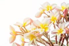 Feche acima da flor do thom do Lan Imagem de Stock Royalty Free