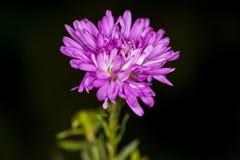 Feche acima da flor dos ásteres Imagens de Stock