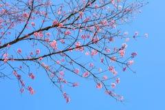 Feche acima da flor Himalaia selvagem cor-de-rosa de florescência bonita da cereja Foto de Stock Royalty Free