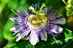 Feche acima da flor da paixão fotografia de stock