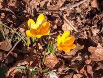 feche acima da flor pequena alaranjada da mola dois no assoalho da floresta - ora Foto de Stock Royalty Free