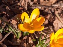 feche acima da flor pequena alaranjada da mola dois no assoalho da floresta - ora Imagens de Stock Royalty Free
