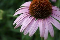 Feche acima da flor petaled cor-de-rosa fotografia de stock