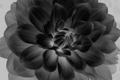 Feche acima da flor preto e branco Fotos de Stock Royalty Free
