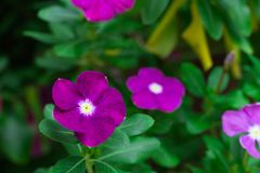 Feche acima da flor roxa Foto de Stock Royalty Free