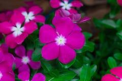 Feche acima da flor roxa Foto de Stock