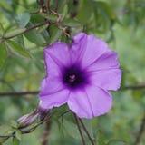 Feche acima da flor roxa Imagem de Stock Royalty Free