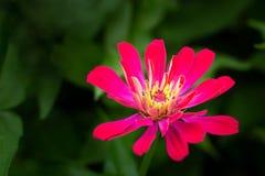 Feche acima da flor roxa do Zinnia flor do Zinnia branco em GA imagem de stock