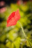 Feche acima da flor vermelha da papoila de ópio Imagens de Stock Royalty Free
