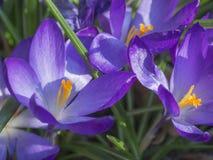 Feche acima da flor violeta macro da mola do vernus do açafrão em g defocused Imagem de Stock Royalty Free
