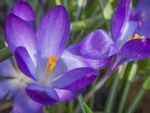 Feche acima da flor violeta macro da mola do vernus do açafrão em g defocused Fotos de Stock