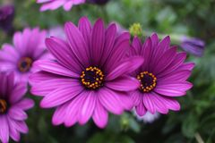 Feche acima da flor violeta da margarida africana de Osteospermum Foto de Stock
