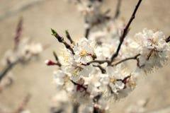 Feche acima da florescência do abricó da mola Foto de Stock