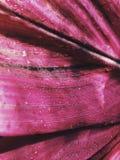 Feche acima da folha cor-de-rosa com gota da água na luz solar fotos de stock royalty free