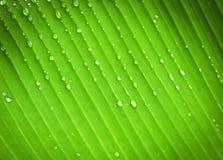 Feche acima da folha da banana após ter chovido linhas paralelas mostrando Fotografia de Stock Royalty Free