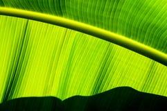 Feche acima da folha da banana que mostra linhas paralelas Fotografia de Stock