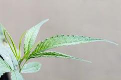Feche acima da folha da marijuana Fotos de Stock