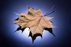 Feche acima da folha de bordo amarela dourada textured no gradulated Fotos de Stock