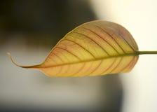Feche acima da folha de figo sagrado Imagens de Stock