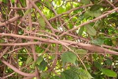 Feche acima da folha de uma samambaia do ninho do ` s do pássaro que pendura na árvore fotografia de stock royalty free