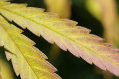 Feche acima da folha do cannabis, cor da queda foto de stock