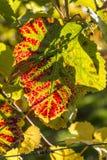 Feche acima da folha do outono, Dorking, Surrey, Inglaterra, Reino Unido imagem de stock royalty free