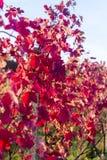 Feche acima da folha do outono, Dorking, Surrey, Inglaterra, Reino Unido imagens de stock royalty free