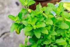 Feche acima da folha santamente da manjericão de Tailândia Fotografia de Stock