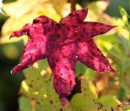 Feche acima da folha seis-aguçado colorida magenta Fotos de Stock