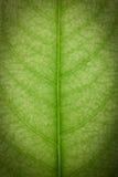 Feche acima da folha verde Imagens de Stock