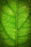 Feche acima da folha verde Imagem de Stock Royalty Free