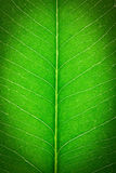 Feche acima da folha verde Fotografia de Stock Royalty Free