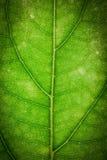 Feche acima da folha verde Fotos de Stock