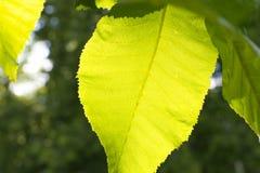 Feche acima da folha verde backlit pelo sol Fotografia de Stock Royalty Free