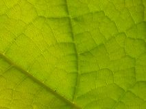 Feche acima da folha verde da árvore de Catalpa Imagens de Stock Royalty Free
