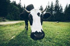 Feche acima da foto da vaca com sino Fotos de Stock