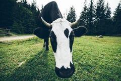 Feche acima da foto da vaca com sino Fotos de Stock Royalty Free