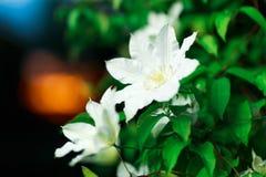 Feche acima da foto das flores brancas da clematite em um jardim foto de stock royalty free