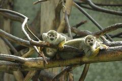 Feche acima da foto de macacos de esquilo Fotos de Stock Royalty Free