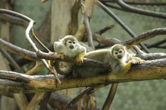 Feche acima da foto de macacos de esquilo Fotos de Stock