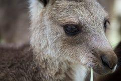 Feche acima da foto de um canguru que come a grama Vista lateral com o olho muito afiado foto de stock