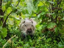 Feche acima da foto de um nutria, igualmente chamada coypu ou rato do rio, contra o fundo verde fotos de stock