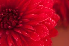Feche acima da foto de uma flor vermelha da dália Fotos de Stock