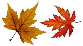 Feche acima da foto de uma folha alaranjada e vermelha da queda Fotos de Stock