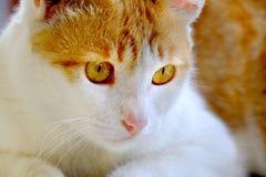 Feche acima da foto do gato bonito Fotografia de Stock