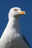 Feche acima da gaivota Imagens de Stock Royalty Free