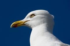 Feche acima da gaivota Imagem de Stock