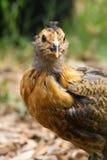 Feche acima da galinha bonita Foto de Stock