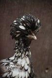 Feche acima da galinha polonesa atada prata Fotografia de Stock Royalty Free